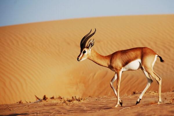 Животные Египта с фото и описанием - Газель-доркас