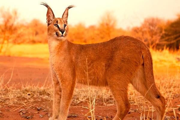 Животные Египта с фото и описанием - Каракал