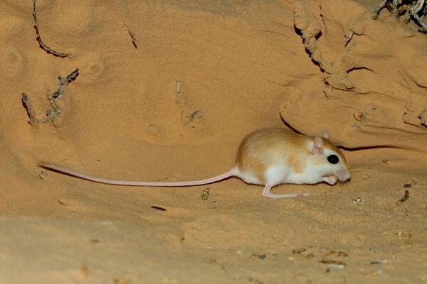 Животные Египта с фото и описанием - Дневная песчанка