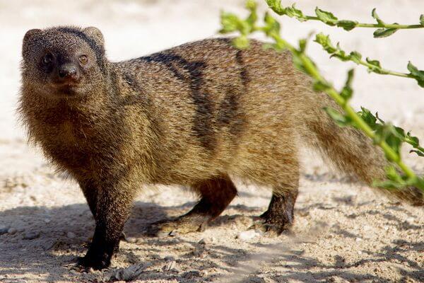 Животные Египта с фото и описанием - Египетский мангуст