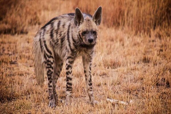 Животные Египта с фото и описанием - Пятнистая гиена