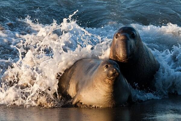 Животные Гавайев - Гавайский тюлень-монах (слева) и северный морской слон (справа)