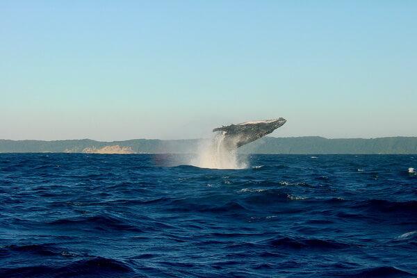 Животные Гавайев - Горбатые киты