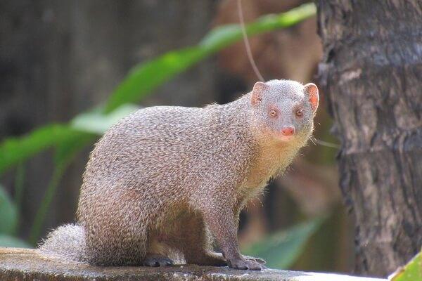 Животные Гавайев - Индийский мангуст