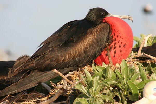 Гавайские птицы - Большой фрегат