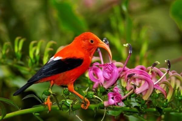 Гавайские птицы - Чёрно-алая гавайская цветочница