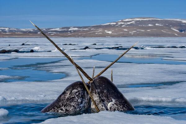 Животные Исландии с фото и описанием - Нарвал