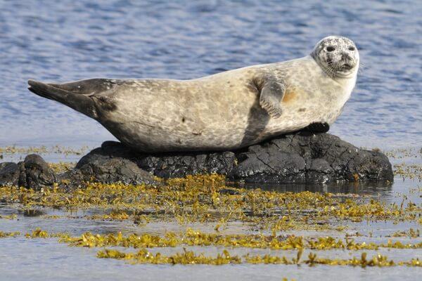 Животные Исландии с фото и описанием - Горбоносый или серый тюлень (тевяк)