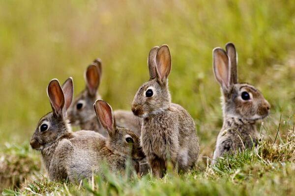 Животные Исландии с фото и описанием - Дикий или европейский кролик