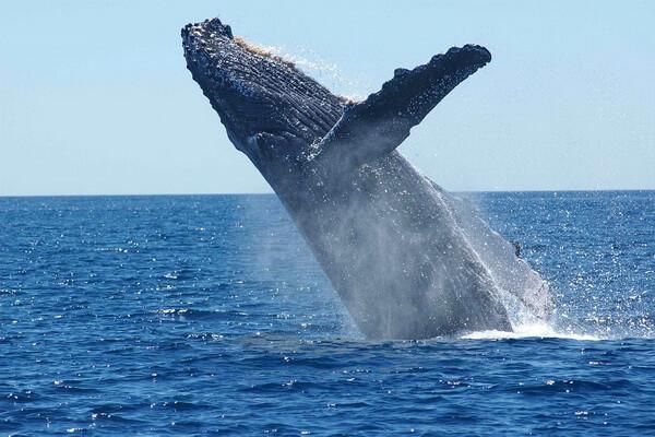 Животные Исландии с фото и описанием - Горбатый кит (горбач) или длиннорукий полосатик
