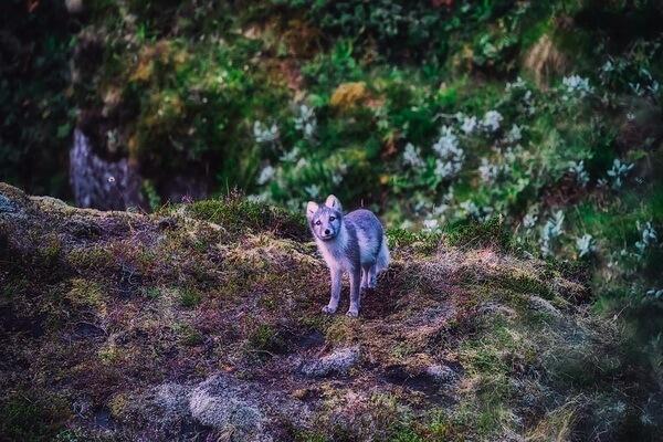Животные Исландии с фото и описанием - Песец