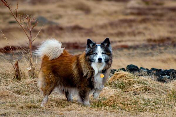 Животные Исландии с фото и описанием - Исландская собака или исландская овчарка