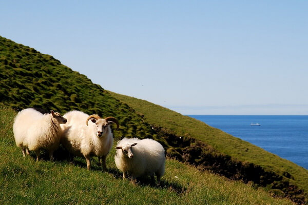 Животные Исландии с фото и описанием - Исландские овцы