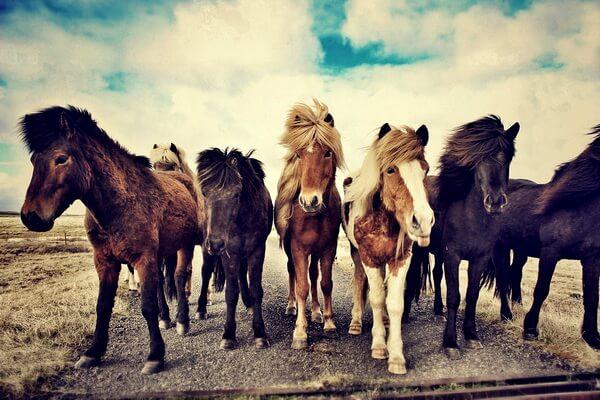 Животные Исландии с фото и описанием - Исландская лошадь