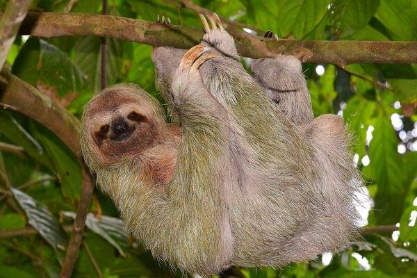 Животные Никарагуа с фото и описанием - Бурогорлый ленивец