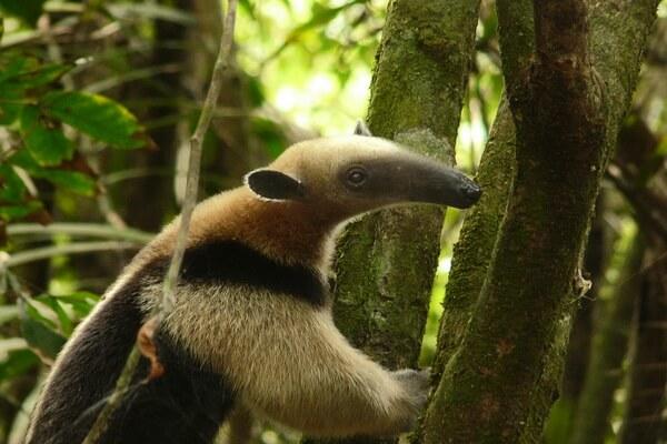 Животные Никарагуа с фото и описанием - Мексиканский тамандуа