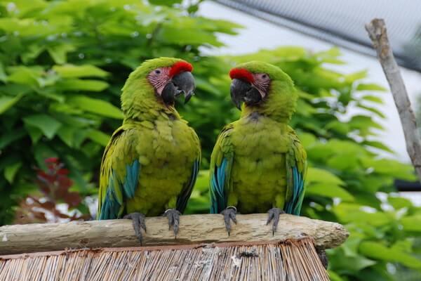 Птицы Никарагуа с фото и описанием - Солдатский ара
