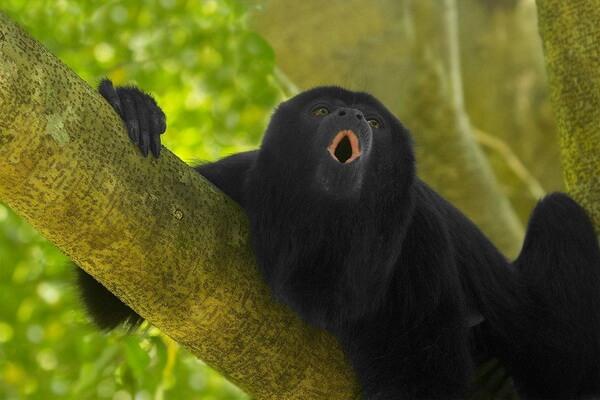 Животные Никарагуа с фото и описанием - Колумбийский ревун