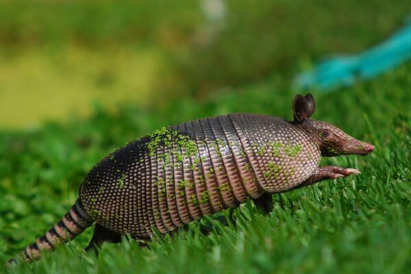 Животные Никарагуа с фото и описанием - Девятипоясной броненосец