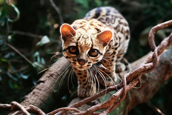 Животные Никарагуа с фото и описанием - Маргай