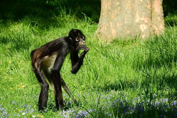 Животные Никарагуа с фото и описанием - Коата Жоффруа