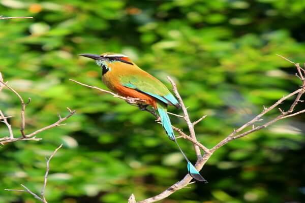 Бурый момот - национальная птица Никорагуа
