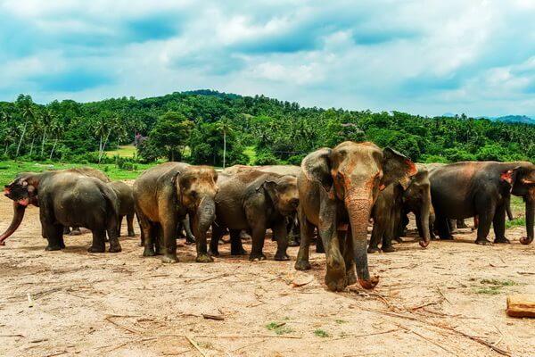 Животные Шри-Ланки с фото и описанием - Цейлонский слон