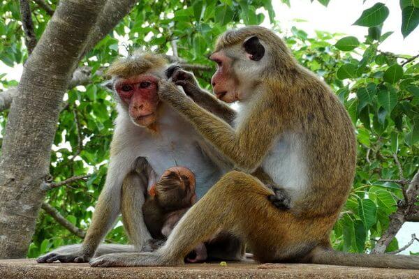 Животные Шри-Ланки с фото и описанием - Цейлонский макак