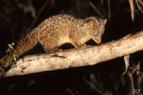 Животные Шри-Ланки с фото и описанием - Шри-ланкийская коричневая пальмовая циветта