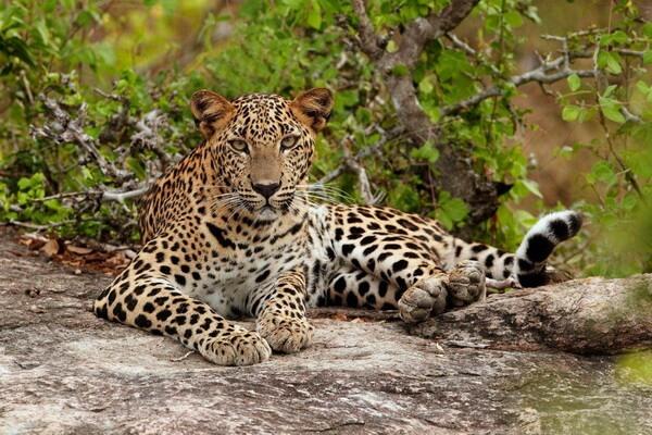 Животные Шри-Ланки с фото и описанием - Цейлонский леопард