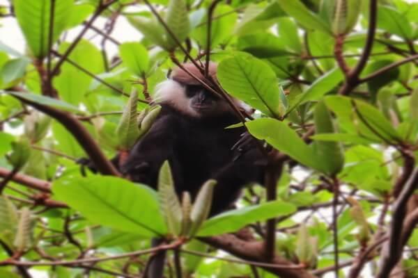 Животные Шри-Ланки с фото и описанием - Краснолицый гульман