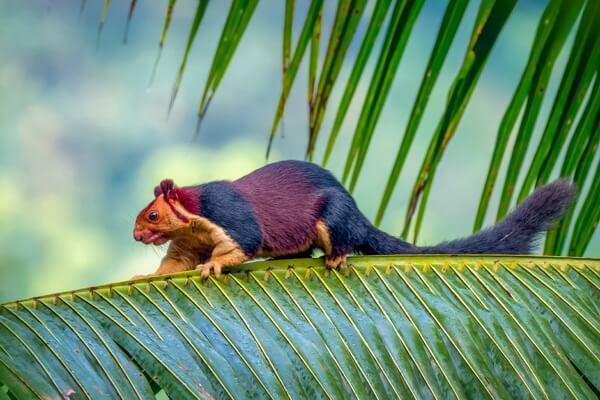 Животные Шри-Ланки с фото и описанием - Большехвостая гигантская белка (ратуфа)