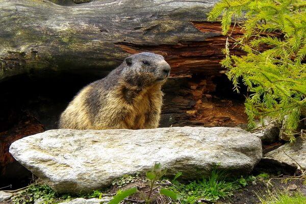 Животные Швейцарии с фото и описанием - Альпийский сурок