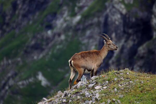 Животные Швейцарии с фото и описанием - Альпийский горный козёл (козерог или ибекс)