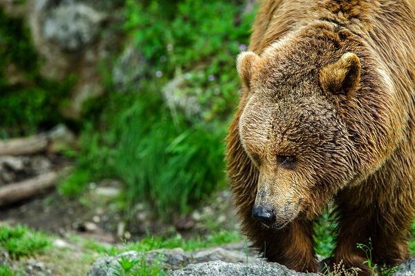 Животные Швейцарии с фото и описанием - Бурый медведь