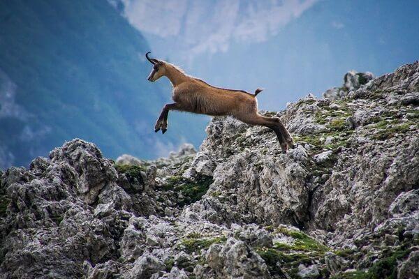 Животные Швейцарии с фото и описанием - Серна