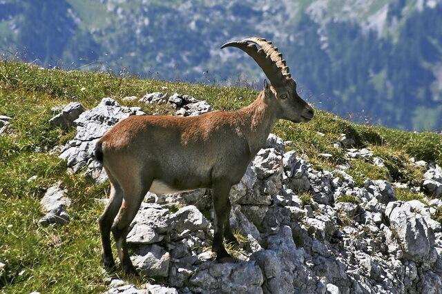 Животные Швейцарии - основные виды с фото и описанием