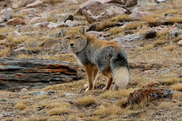 Животные Тибета с фото и описанием - Тибетская лисица