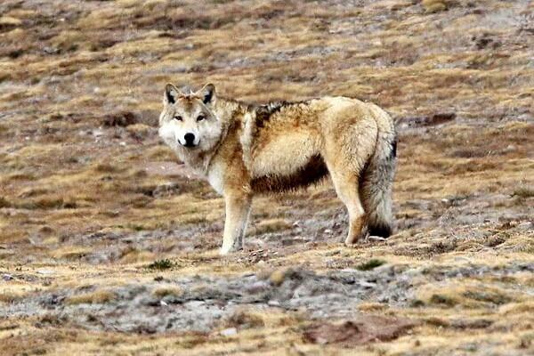 Животные Тибета с фото и описанием - Тибетский волк