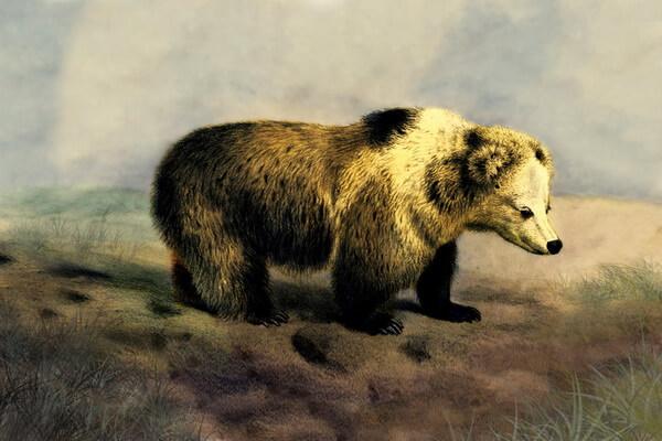 Животные Тибета с фото и описанием - Тибетский бурый медведь (Медведь-пищухоед)