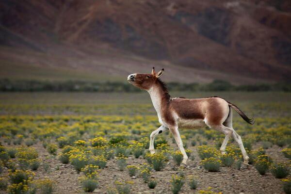 Животные Тибета с фото и описанием - Кианг