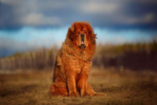 Животные Тибета с фото и описанием - Тибетский мастиф