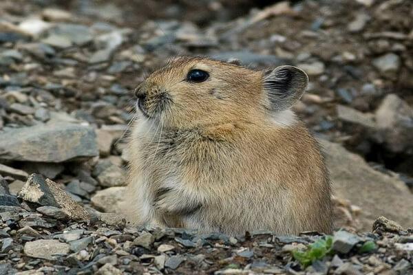 Животные Тибета с фото и описанием - Черногубая пищуха