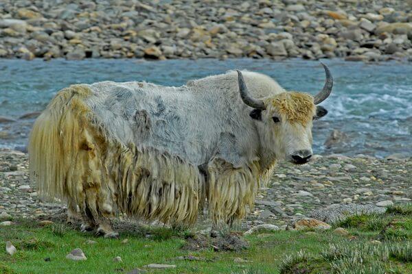 Тибетские животные - Одомашненные яки