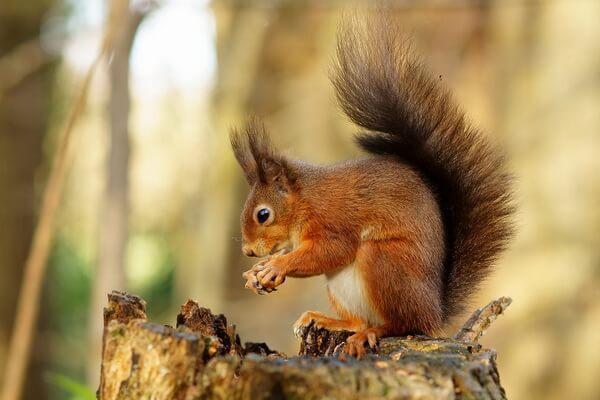 Животные Великобритании с фото и описанием - Обыкновенная белка (векша)