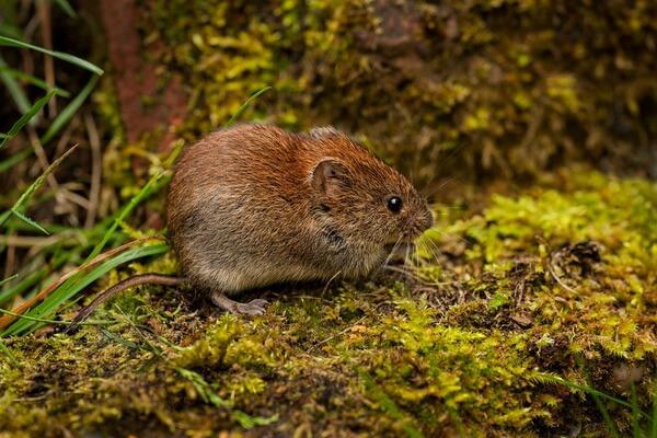 Животные Великобритании с фото и описанием - Оркнейская полёвка