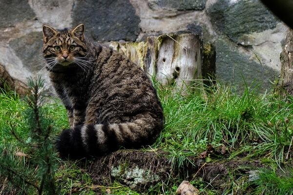 Животные Великобритании с фото и описанием - Шотландская дикая лесная кошка
