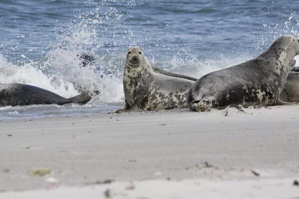 Животные Великобритании с фото и описанием - Длинномордый или серый тюлень (тевяк)