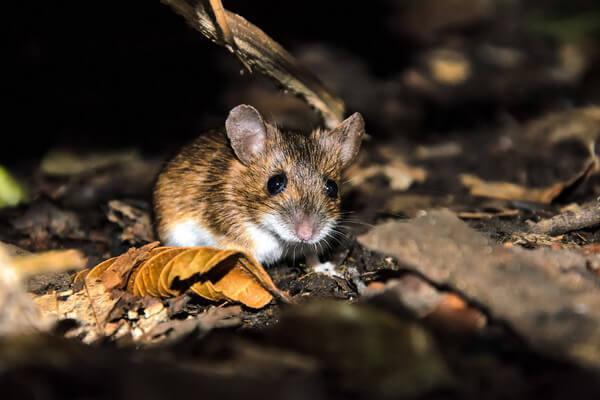 Животные Великобритании с фото и описанием - Европейская лесная мышь