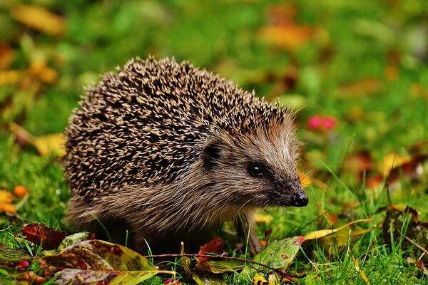 Животные Великобритании с фото и описанием - Обыкновенный ёж